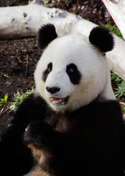 Giant Panda by bigredtim