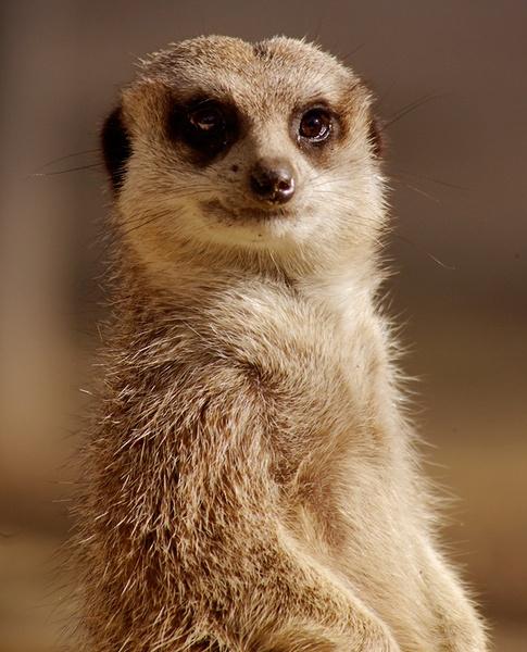 Meerkat by bigredtim