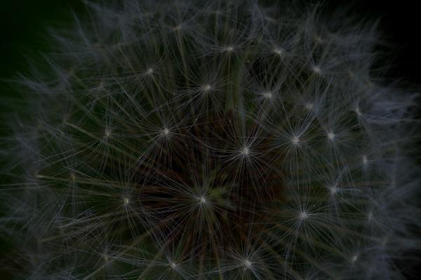 dandelion by mojave79