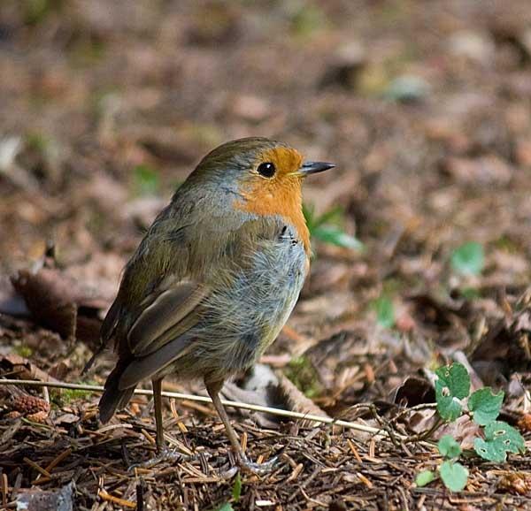 Hungry Robin by pfairhurst