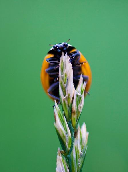 LadyBug by Varanus