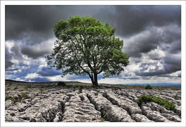 Limestone Tree by JudeC