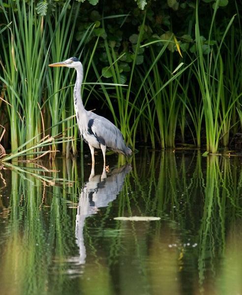 Grey Heron by dnwilliams