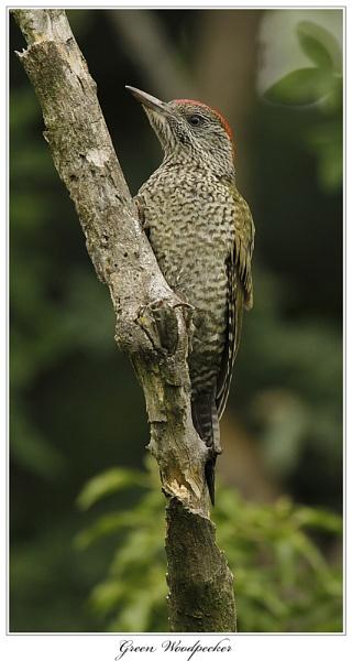 Green Woodpecker by OAKEY