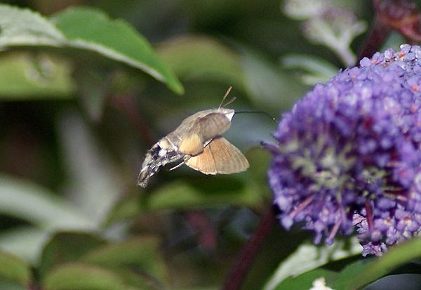 Hummingbird Hawk Moth on a Buddleja by SiSheff