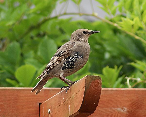 Juvenile Starling by SiSheff