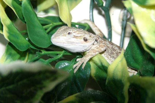 little Lizard by cad28