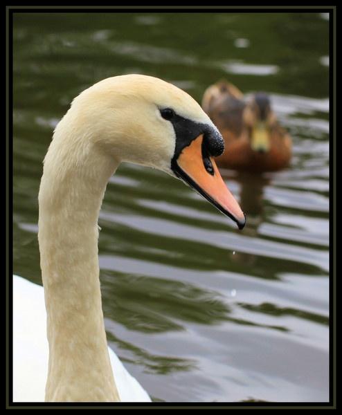 Swan by Ladynina