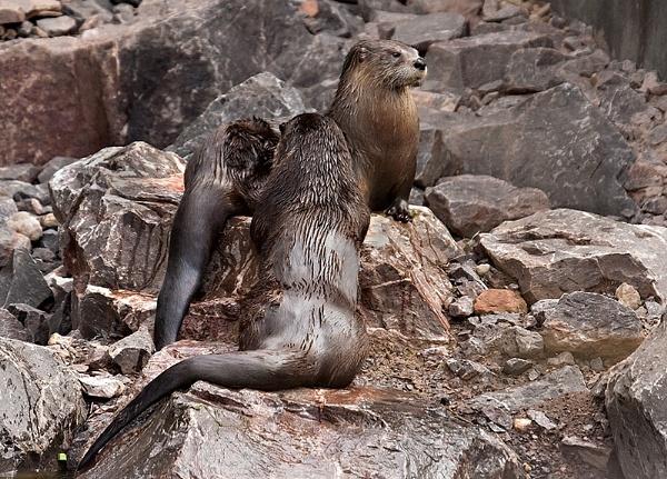 Slimbridge Otters by Lorraine_Wallace