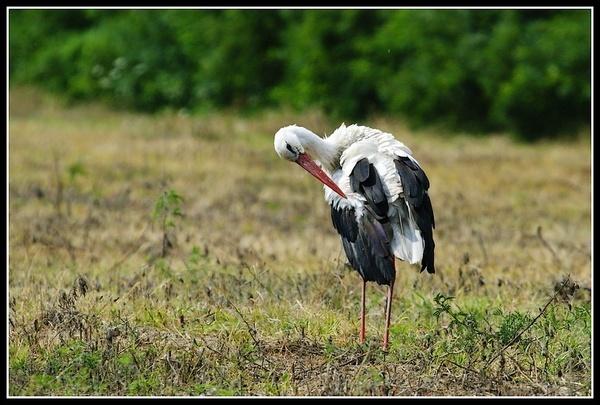 White Stork by zmecanin