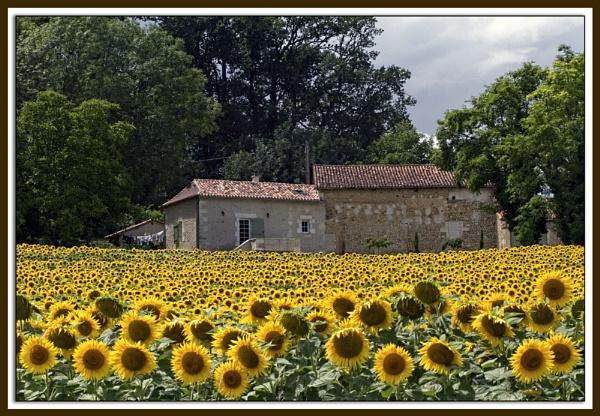 Sunflowers by pennyspike