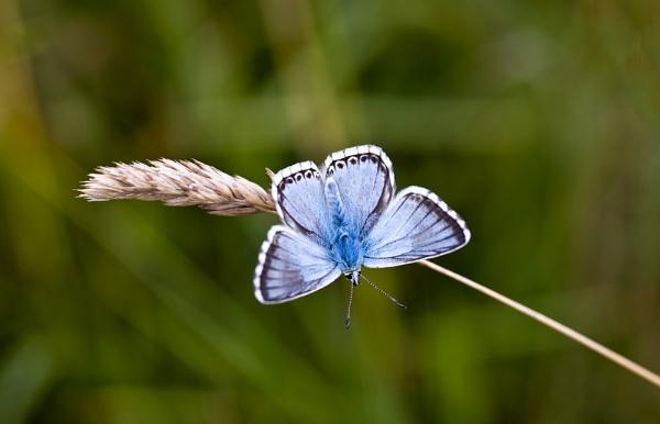 Chalk Hill Blue by paddyman