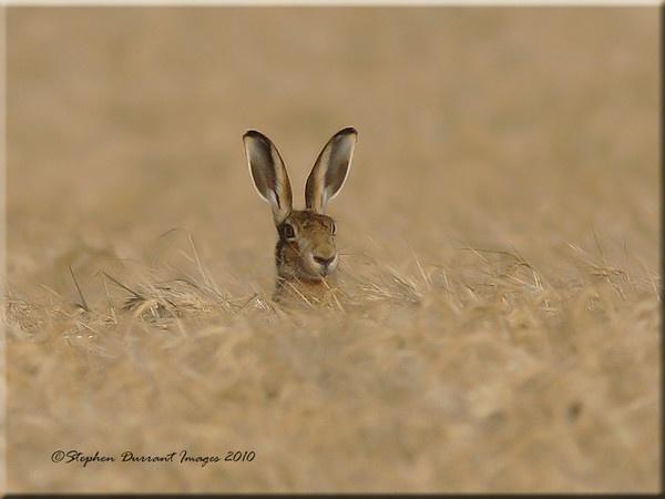 Hare by StephenDurrant