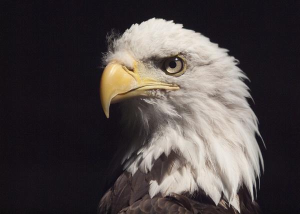 Bald Headed Eagle by Gio