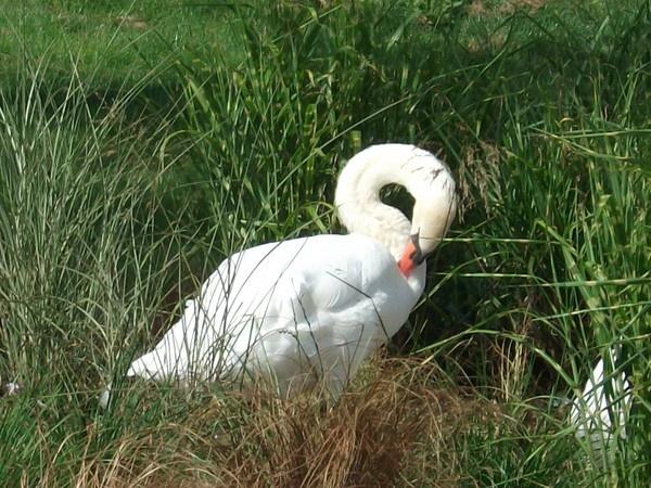 white swan by Tash_hares
