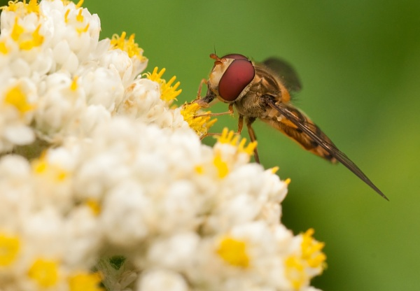 Hoverfly by dewie