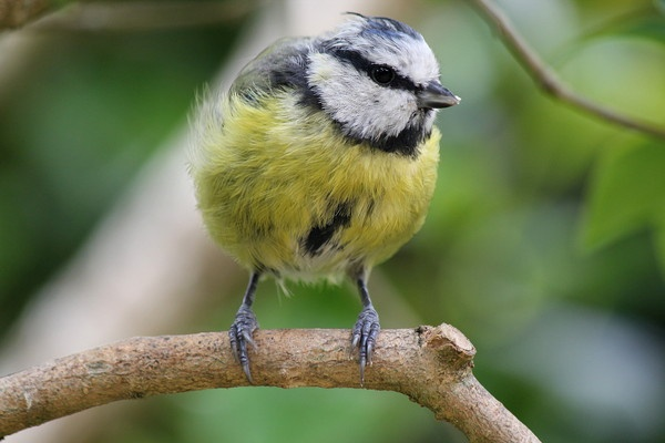 Perched Blue Tit by HarveySquires
