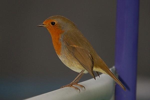 Robin by nik50