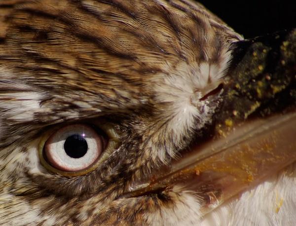 Eye of a Kookaburra by bigredtim