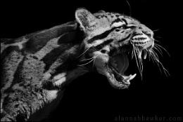 Clouded Leopard 01