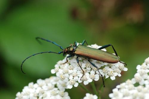 Musk Beetle by niksig