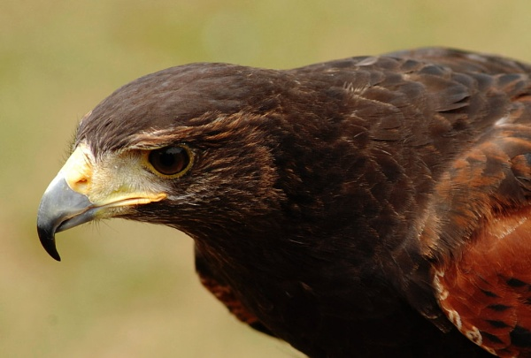 Harris Hawk by Tracy_Young