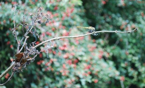 Drgonfly by toniiixx