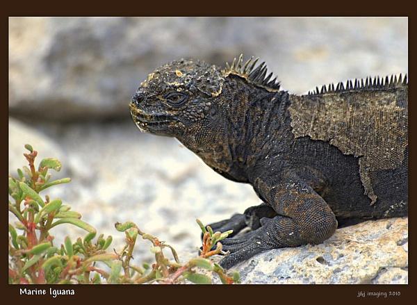 *** Marine Iguana *** by cats_123