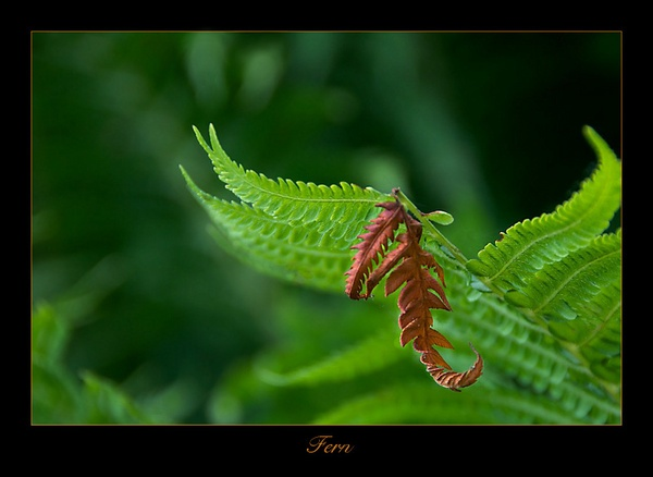 Fern by NickD