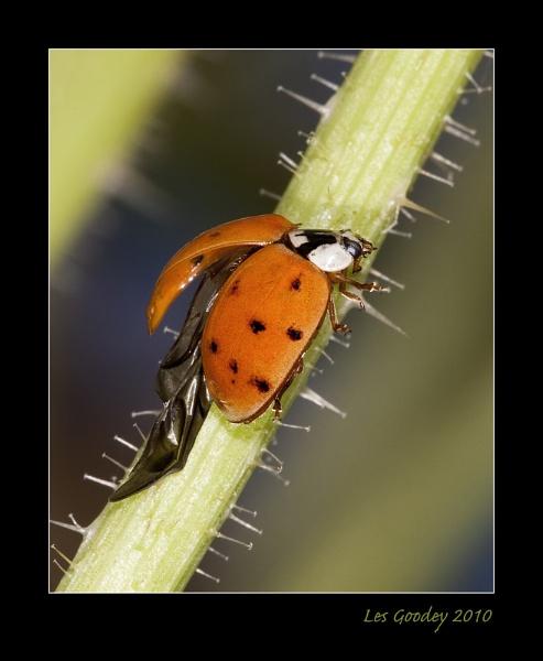 Ladybird Wings by lesgoodey