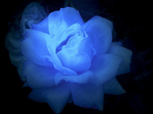 Rose by StephenDM
