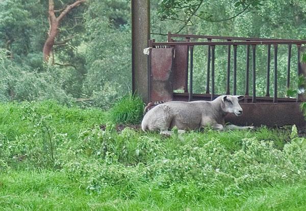 Sheep by StephenDM