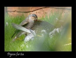 Sparrowhawk or a Goshawk?