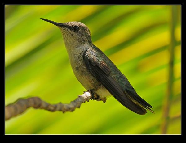 Vervain Hummingbird by tubbtubby