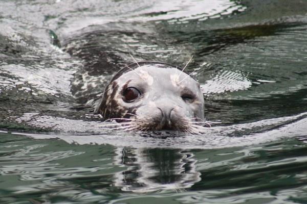 bob the seal by mellowsoup