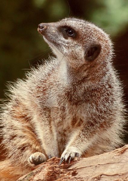 Meerkat by Tonksfest