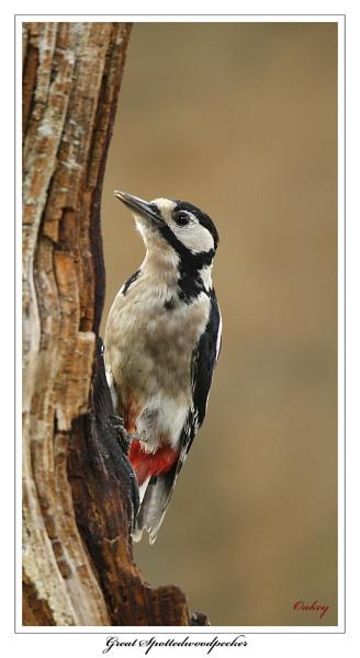 Great Spotted Woodpecker by OAKEY