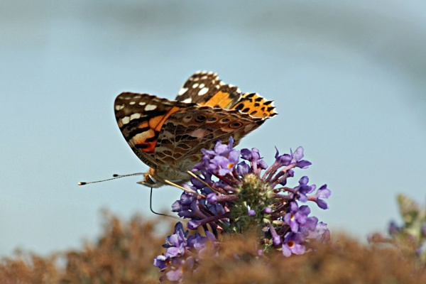 Painted Lady by betts