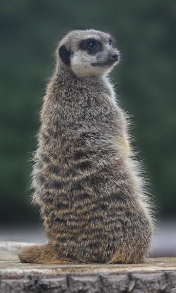 Marwell Meerkat by Lynx08