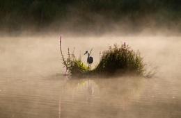 Stover Heron
