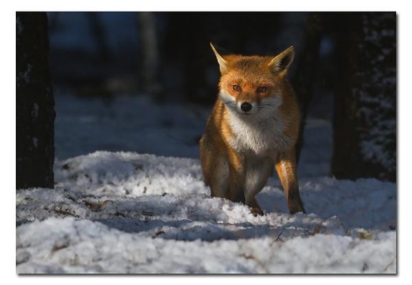 Winter Fox by Guy_Rogers