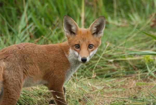 Evening Fox by Emmog