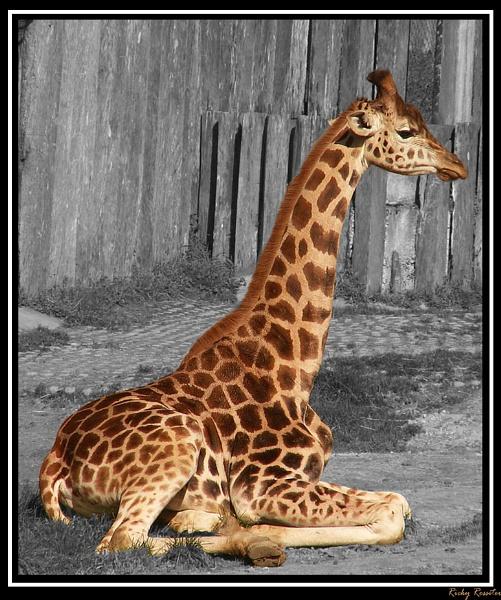 Baby Giraffe by RickyRossiter