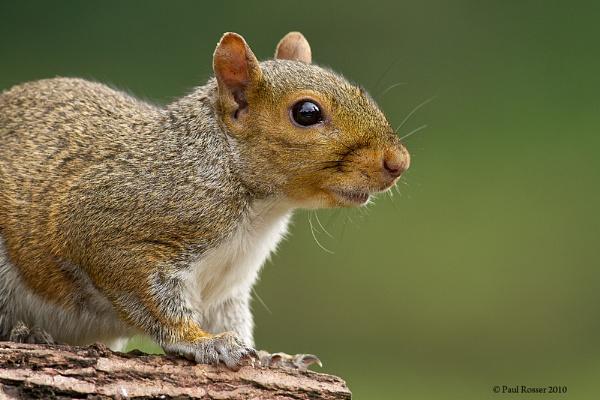 Grey Squirrel by paulrosser