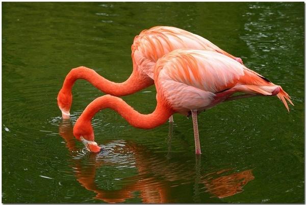 Flamingoes by CraigSev