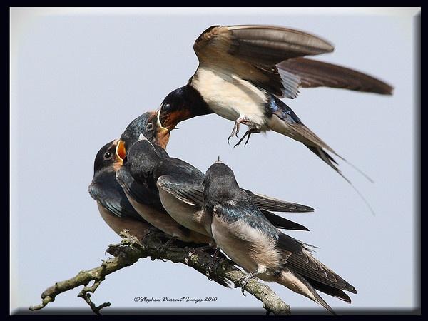 Swallows by StephenDurrant