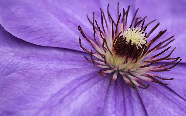 Clematis by ironman