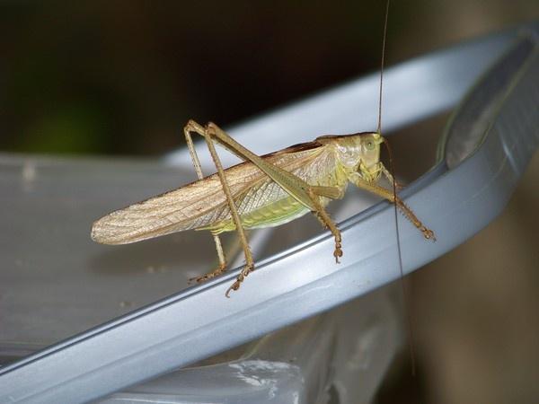 Grasshopper by Pixiecat