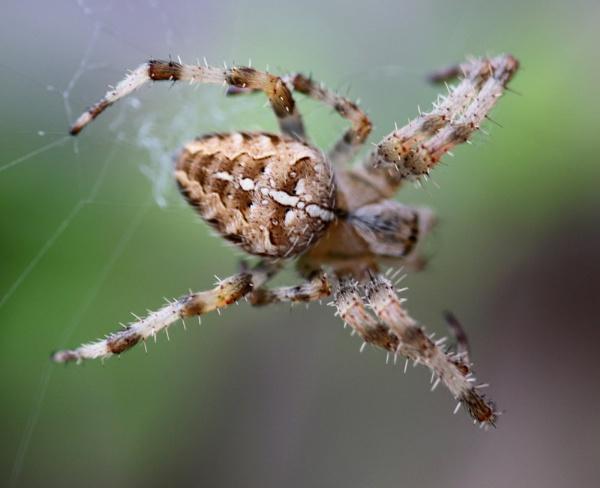 Garden Spider by Ben10