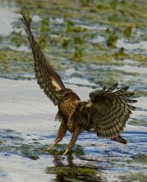 The Sparrowhawk who thinks he's an Osprey